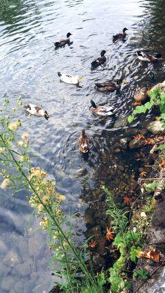 duck aqua water river autumn