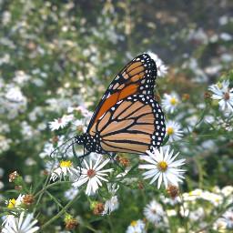 nature photography freetoedit beautifypicsart butterfly