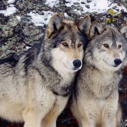 art wolfs kuwait q8 freetoedit